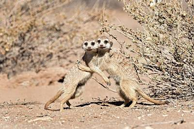Meerkat Photograph - Suricates At Play by Tony Camacho