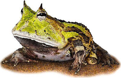 Photograph - Surinam Horned Frog, C. Cornuta by Roger Hall
