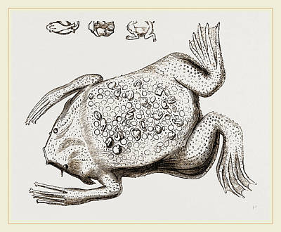 Toads Drawing - Surinam Toad by Litz Collection