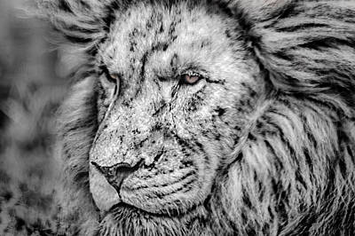Photograph - Surreal Lion by James Woody