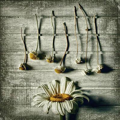 Daisy Photograph - Survival by Evelina Petkova