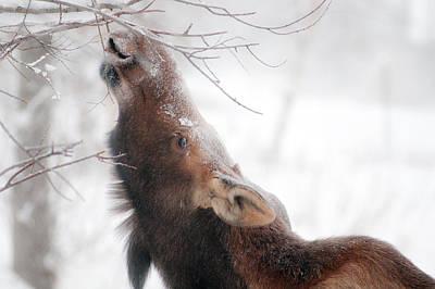 Alaska Wildlife Photograph - Surviving by Ron Day