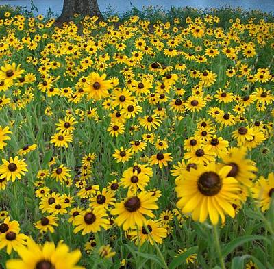 Photograph - Susans In The Wind by Elizabeth Sullivan