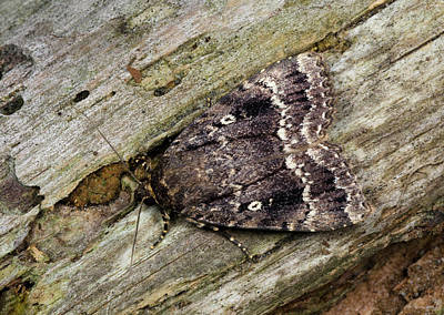 Locally Photograph - Svensson's Copper Underwing Moth by Nigel Downer