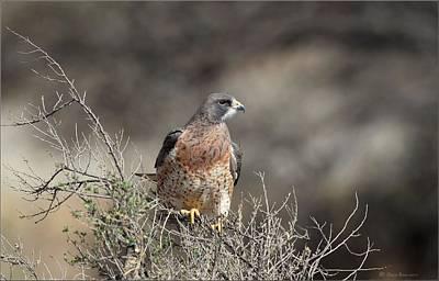 Photograph - Swainson's Hawk by Daniel Behm