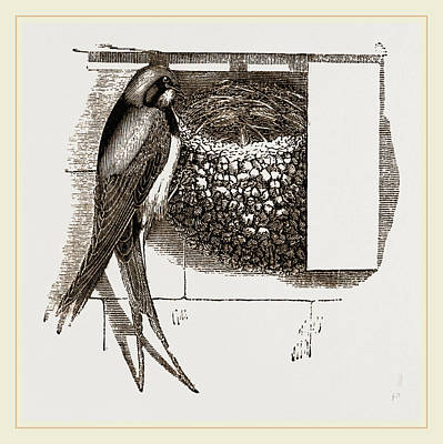 Swallow Drawing - Swallow And Nest by Litz Collection