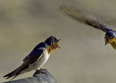 Wildlife Photograph - Swallow Fight by Mr Bennett Kent