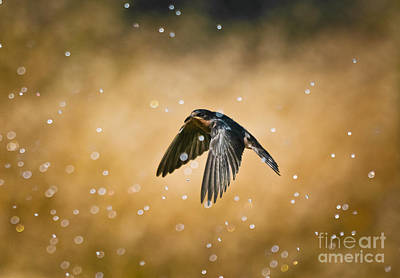 Swallow Photograph - Swallow In Rain by Robert Frederick