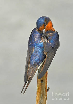 Photograph - Swallow by Kathy Baccari