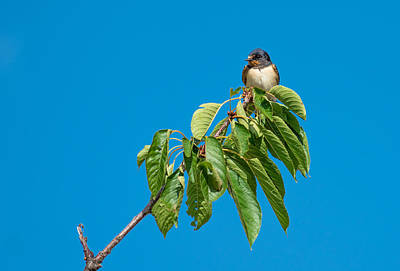 Swallow Sitting On Cherry Tree Branch Art Print by Andreas Berthold