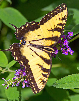 Photograph - Swallow Tail Butterfly by Deb Buchanan