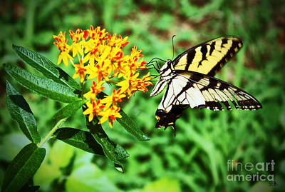 Photograph - Swallow Tail Butterfly by Sandra Clark