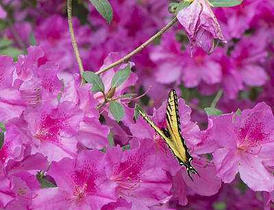 Photograph - Swallow Tailed Butterfly On The Azaleas 002 by Philip Rispin