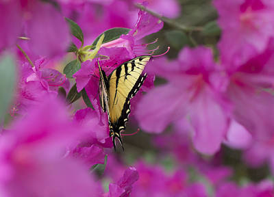 Photograph - Swallow Tailed Butterfly On The Azaleas. by Philip Rispin