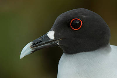 Swallow Photograph - Swallow-tailed Gull (larus Furcatus by Pete Oxford