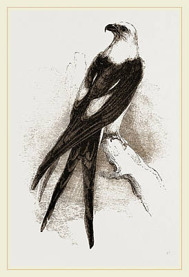 Swallow Drawing - Swallow-tailed Hawk by Litz Collection