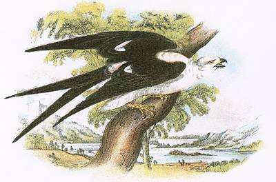 Swallow-tailed Kite Art Print