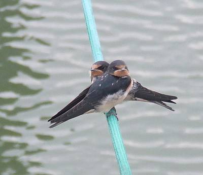 Photograph - Swallows by Sandra Muirhead