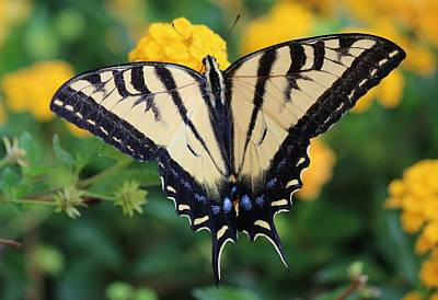 Photograph - Swallowtail - 2  by Christy Pooschke