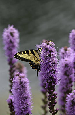 Photograph - Swallowtail 0003 by Donald Brown