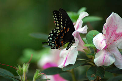 Photograph - Swallowtail 2 by David Weeks