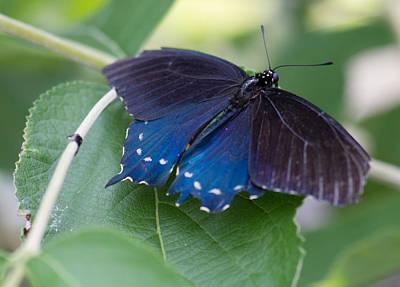 Photograph - Swallowtail 2 by Leah Palmer