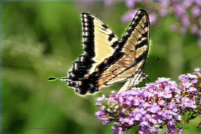 Photograph - Swallowtail 267 by Ericamaxine Price