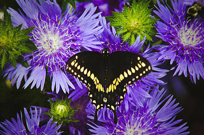 Photograph - Swallowtail And Astor by Debra Crank