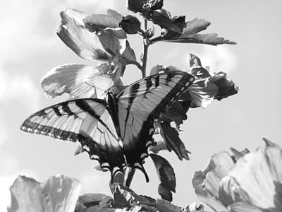 Swallowtail And Rose Of Sharon Bw Art Print by Diannah Lynch