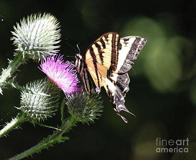 Photograph - Swallowtail And Thistle 2 by Erica Hanel