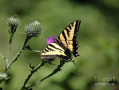 Photograph - Swallowtail And Thistle by Erica Hanel