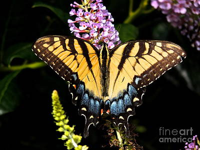 Photograph - Swallowtail Beauty by Eve Spring
