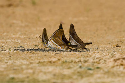 Three Brothers Photograph - Swallowtail Butterflies In A Field by Panoramic Images