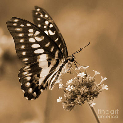 Photograph - Swallowtail Butterfly 1 by Chris Scroggins