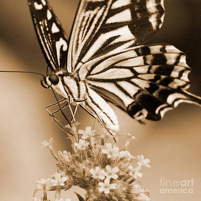 Photograph - Swallowtail Butterfly 2 by Chris Scroggins