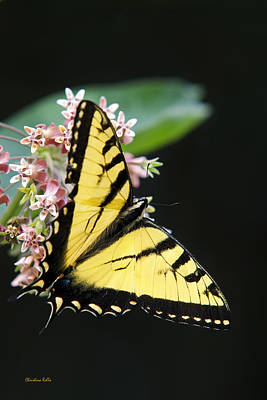 Photograph - Swallowtail Butterfly And Milkweed Flowers by Christina Rollo