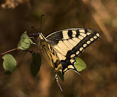 Photograph - Swallowtail Butterfly by Cliff Norton