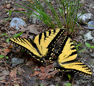 Swallowtail Butterfly Couple Art Print by Eva Thomas