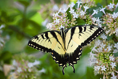 Photograph - Swallowtail Butterfly Feeding On Abelia by Jill Lang
