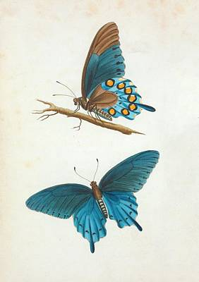 Blue Swallowtail Photograph - Swallowtail Butterfly by General Research Division/new York Public Library