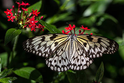 Papilio Thoas Photograph - Swallowtail Butterfly by Henry Inhofer