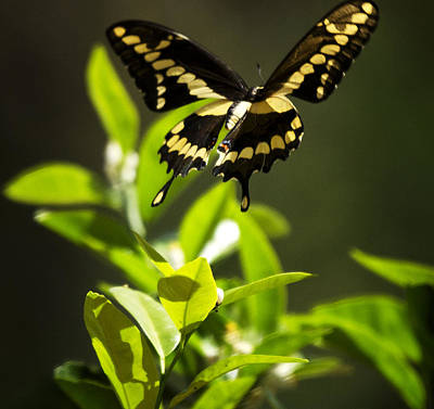 Papilio Thoas Photograph - Swallowtail Butterfly In Flight  by Saija  Lehtonen