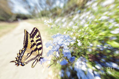 Swallowtail Butterfly In Spring Art Print