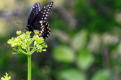 Swallowtail Butterfly Art Print by Lorri Crossno