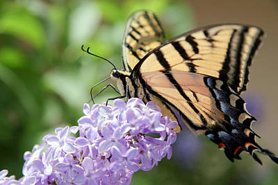 Photograph - Swallowtail Butterfly On Lilac by Ron Chilston