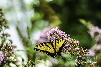 Photograph - Swallowtail Butterfly On Pink Butterfly Bush 1 by Mary Carol Story