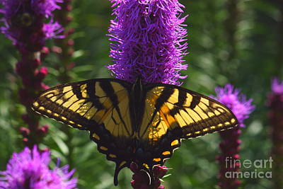 Photograph - Swallowtail Butterfly by Roger Soule