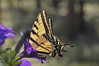 Photograph - Swallowtail Butterfly by Ron White