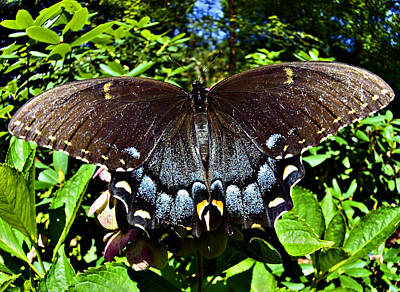 Photograph - Swallowtail Butterfly by Susan Leggett