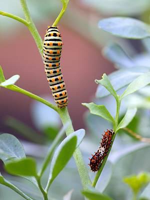 Swallowtail Photograph - Swallowtail Caterpillar II by Meir Ezrachi